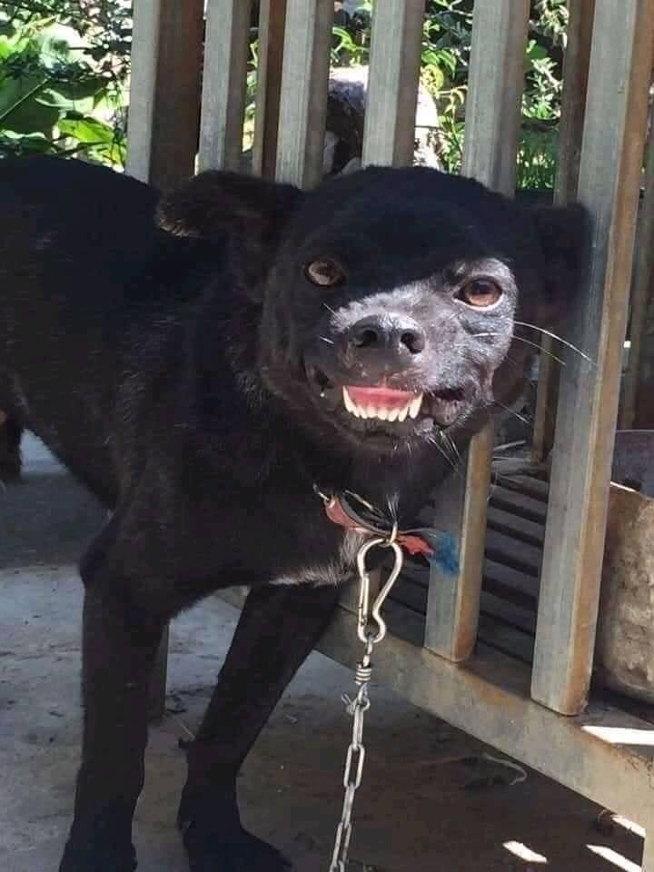 Chú chó đen nhe răng cười gượng gạo
