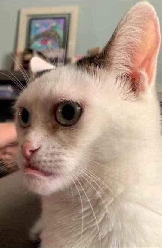 Mèo mặt xấu meme