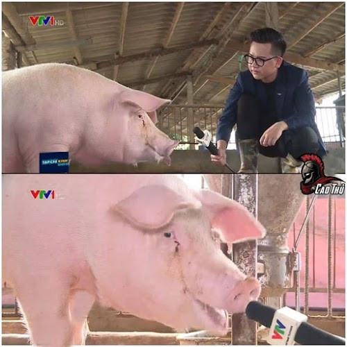 Lợn được VTV phỏng vấn - lần đầu lên tivi