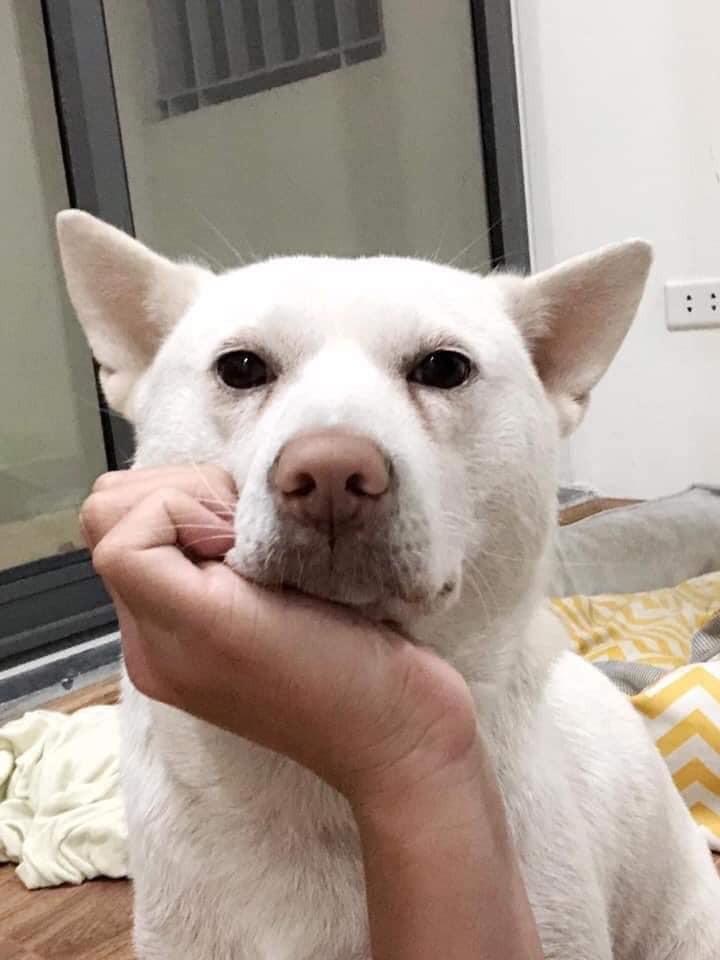 Chó đưa tay chống cằm suy tư