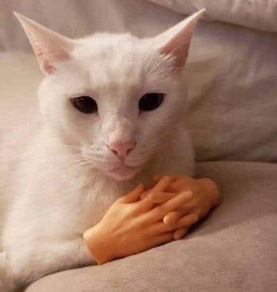 Chú mèo trắng đan tay trước ngực