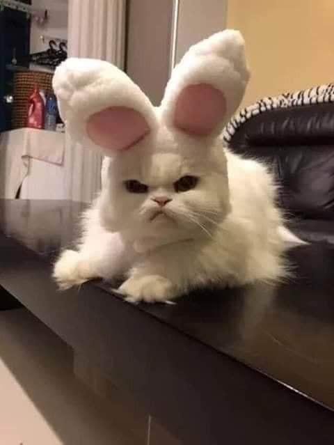 Chú mèo trắng đeo tai thỏ mặt khó chịu