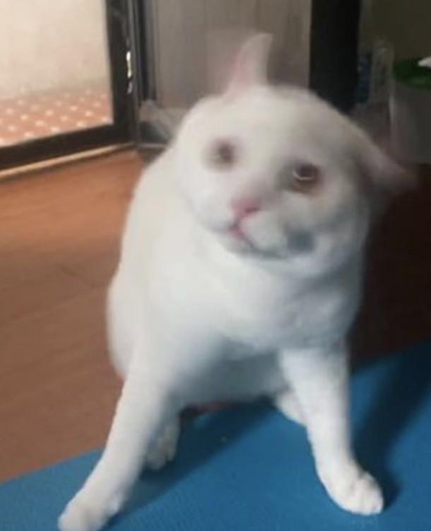 Mèo trắng lắc đầu trông như đang ngáo đá