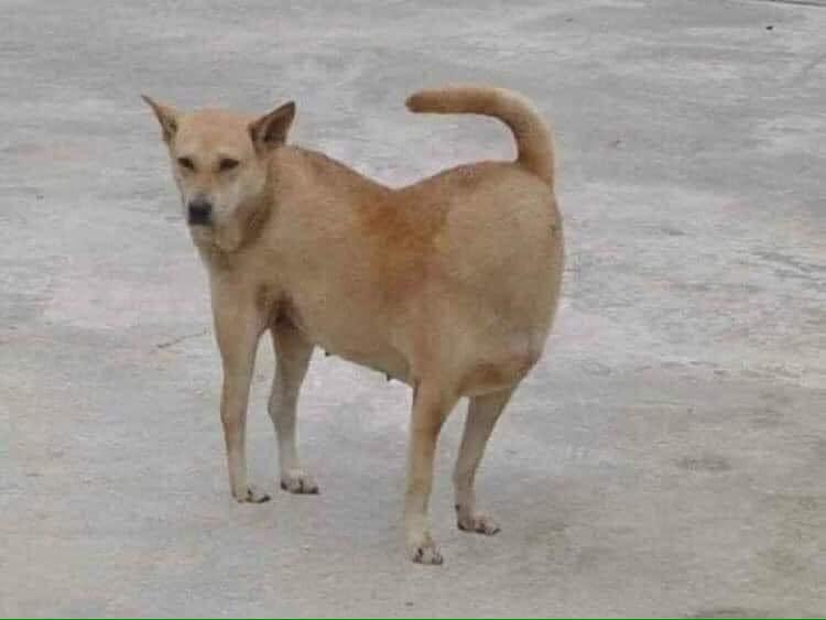 Chú chó vàng có đầu và đuôi lộn ngược