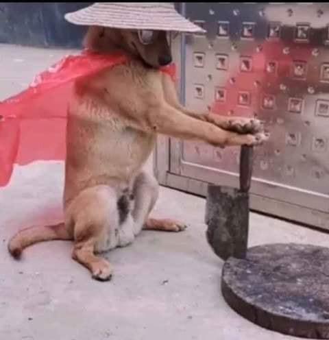 Chú chó cầm dao giống như hiệp sĩ