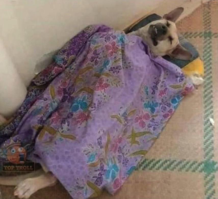 Chú chó nằm ngửa đắp chăn tím ngủ ngon lành