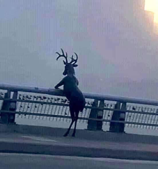 Chú hươu có sừng đứng trên cầu nhìn xa xăm