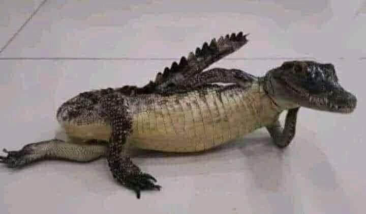 Cá sấu nằm chống tay làm dáng giống người người mẫu hóng chuyện