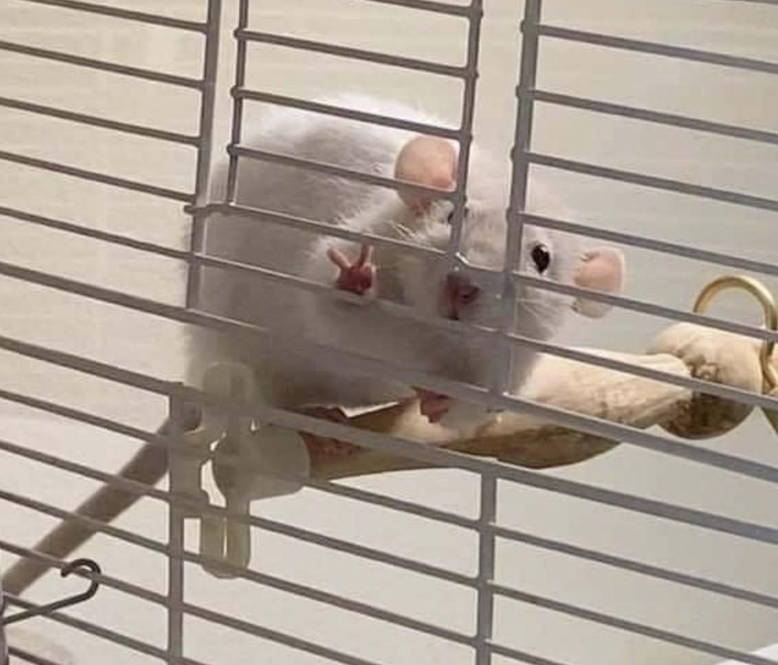 Chuột trắng trong lồng đưa 2 ngón tay xin chào