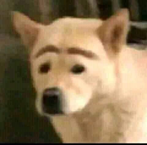 Chú chó trắng bị kẻ lông mày trông rất ngốc nghếch