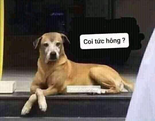 Chó nằm bất lực nói coi tức hông