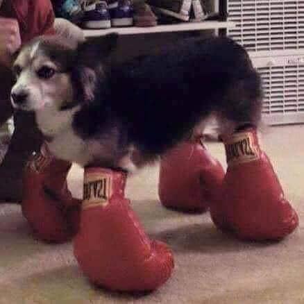Chú chó đi giày bằng 4 đôi găng tay boxing