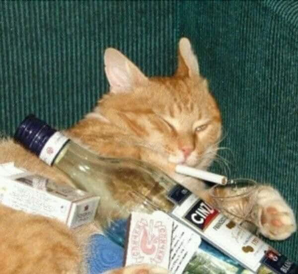 Mèo vàng ngập trong tệ nạn: hút thuốc, uống rượu mạnh, tay cầm bài