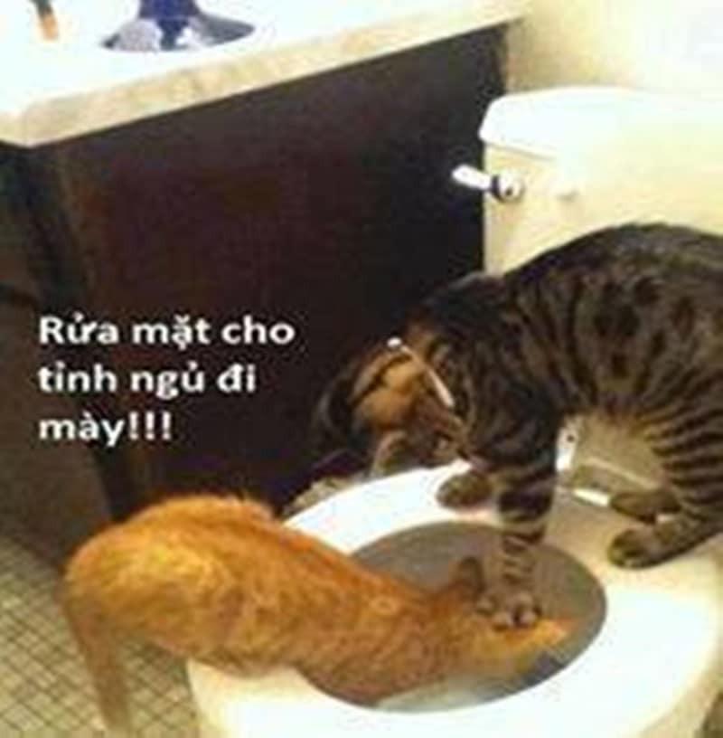 Mèo bị nhấn đầu xuống bồn cầu: rửa mặt cho tỉnh ngủ đi mày