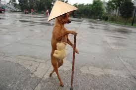 Chó chống gậy, đội nó lá đi bằng hai chân
