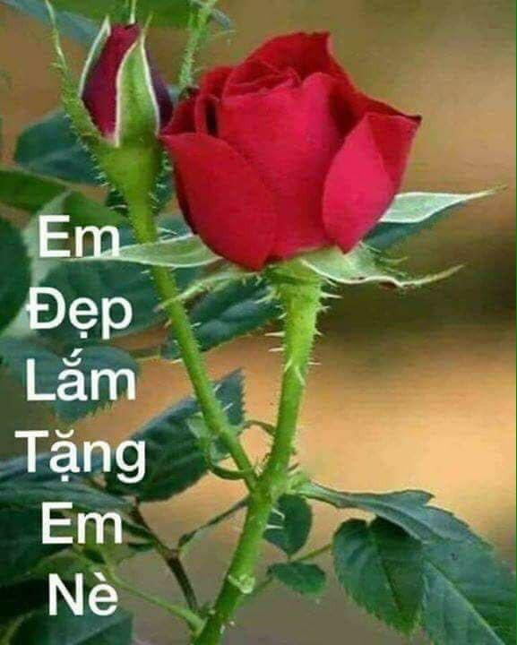Em đẹp lắm tặng em hoa hồng đỏ nè