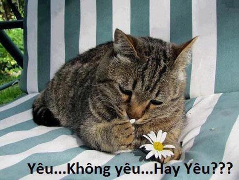 Mèo nhặt cánh hoa nói yêu không yêu