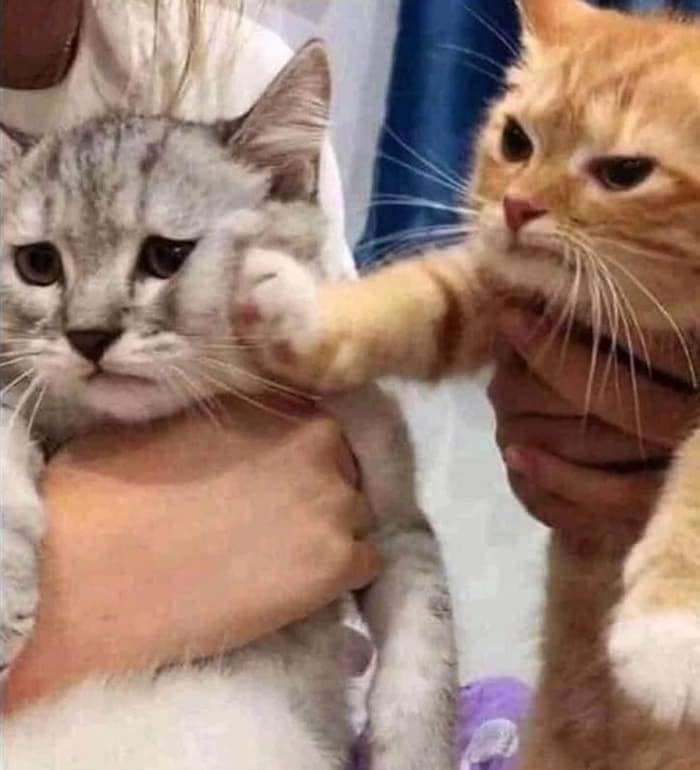 Mèo vàng giận giữ tát bạn mèo trắng
