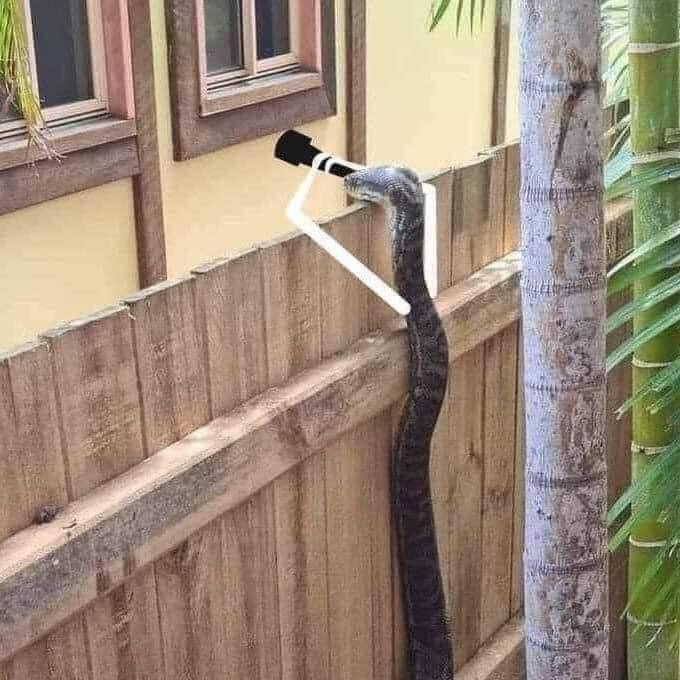 Trăn cầm ống nhòm hóng sang nhà hàng xóm