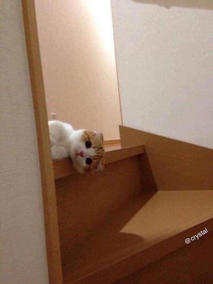 Mèo nằm ở cầu thang nhìn ra vẻ ngây thơ