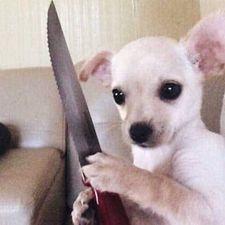 Chó cầm dao nhọn sắp làm gì đó
