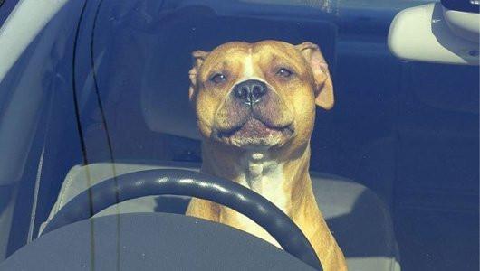 Ảnh chó lái xe - lái xe như chó